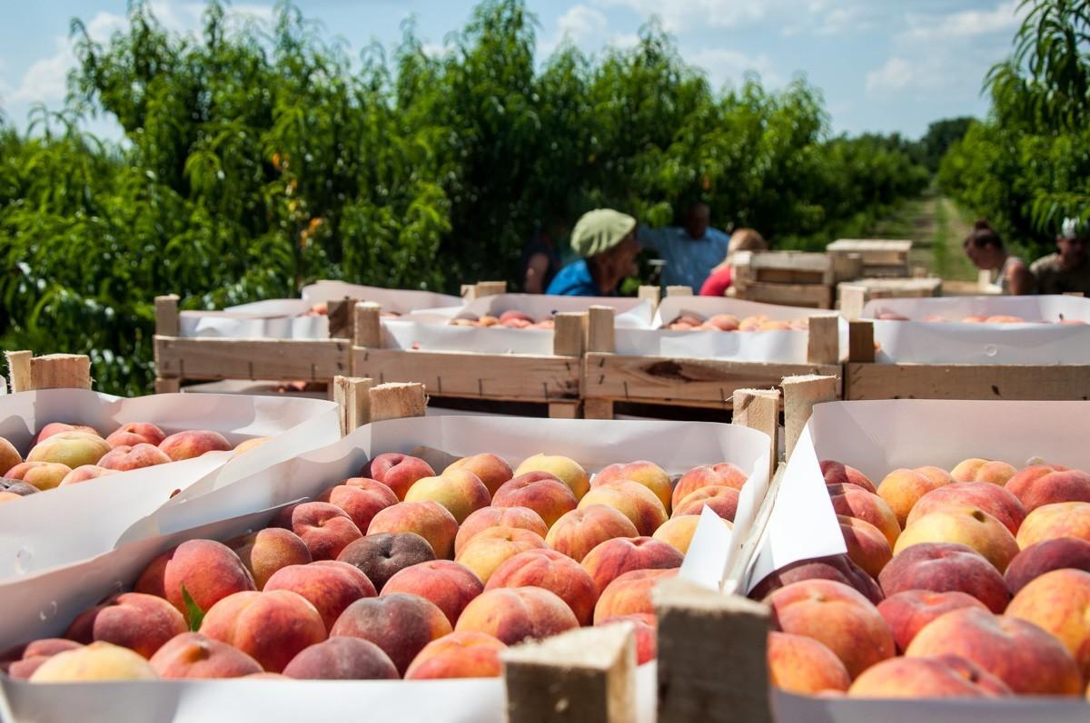 Приднестровье экспортировало сельхозпродукции на 135 млн долларов в прошлом году