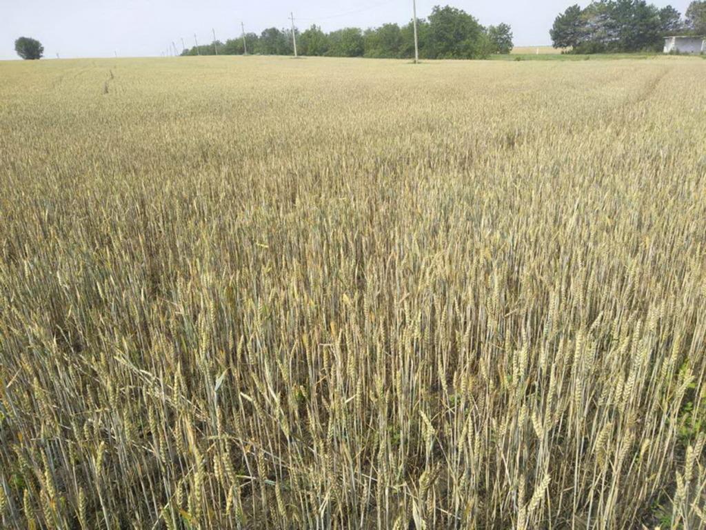 Семена рапса Торес (Syngenta) купить в Украине, описание гибрида ... | 768x1024