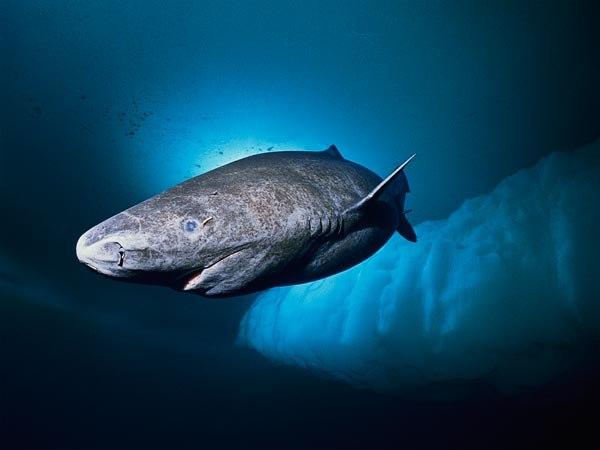 Гренландские полярные акулы всостоянии прожить 500 лет— Ученые