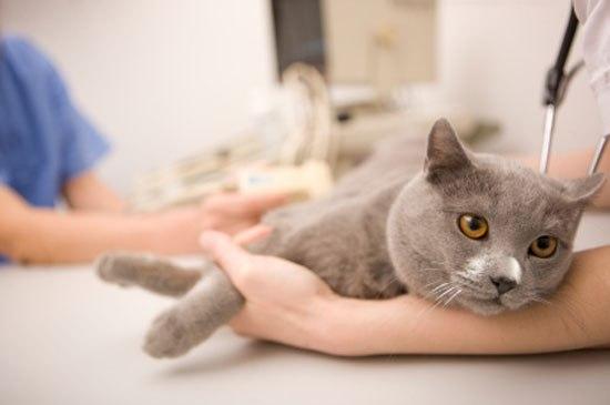 Больше 36 тыс. саратовских кошек получили прививку отбешенства